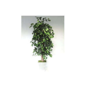 Natural Stemmed Green Ficus Liana Tapered Square Metal